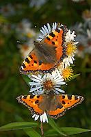 Kleiner Fuchs, Aglais urticae, Nymphalis urticae, small tortoiseshell, La Petite Tortue, Vanesse de l'ortie