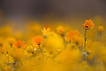 Daisies, Nieuwoudtville, Northern Cape, South Africa