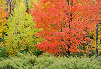 A red maple glows on the edge of a forest in Door County, Wisconsin
