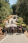 Cattle drive in late spring along Butte Mountain Road near Jackson, Calif.<br /> <br /> JB and Clinton Brownlie ranches