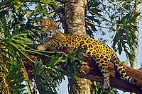 Jaguar (Panthera onca).  Central America, tropical rainforest.