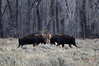 Moose Bulls Fighting, Grand Teton National Park