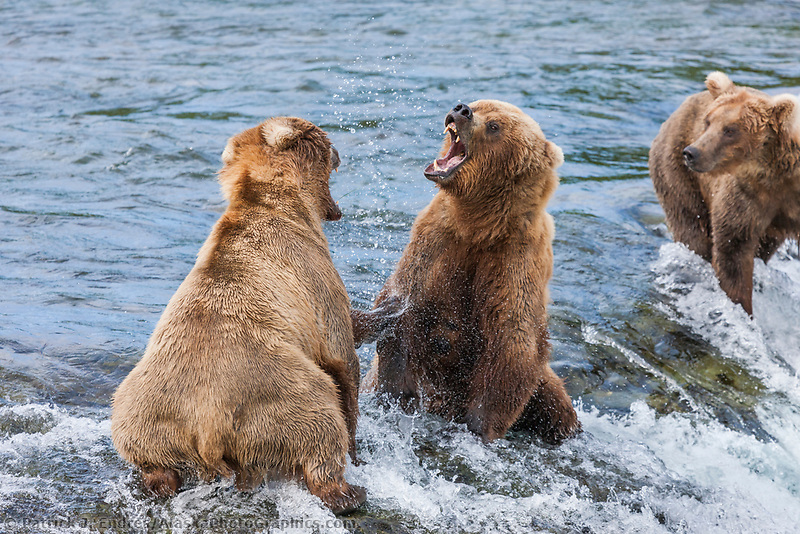 Brown bears fight to defend fishing spots on the Brooks River, Katmai National Park, southwest, Alaska.