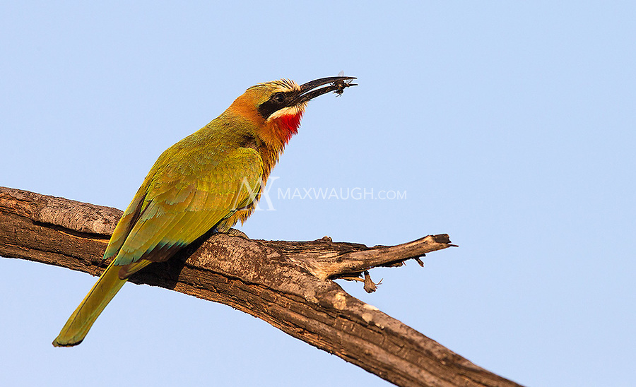 White-fronted bee-eaters return to MalaMala for nesting during the wet season.