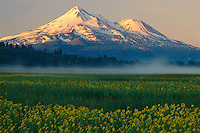Seep spring arnica in Grass Lake<br />   and Mt. Shasta at sunrise<br /> Highway 97,  Siskiyou County<br /> Cascade Range,  California