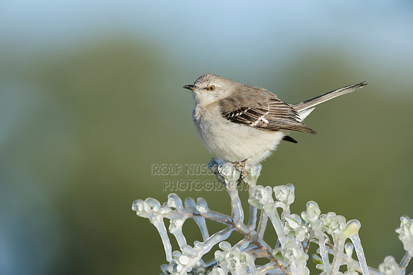 Northern Mockingbird (Mimus polyglottos), adult perched on ice covered branch, Dinero, Lake Corpus Christi, South Texas, USA