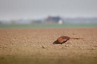 Common Pheasant (Phasianus colchicus) in a field near a farm.
