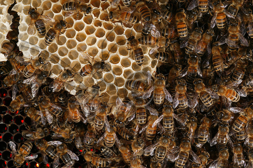 Honey bee on some new wax cells.