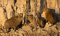 We saw numerous capybaras along the Cuiabá River, including several youngsters.