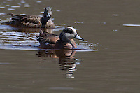 Wigeons (Anas americana) are dabbling ducks which means they feed primarily on the surface rather than diving. In Yellowstone they are primarily migratory.