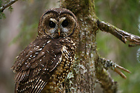 Spotted Owl (Dtrix occidentalis). Willamette National Forest, Oregon. June.