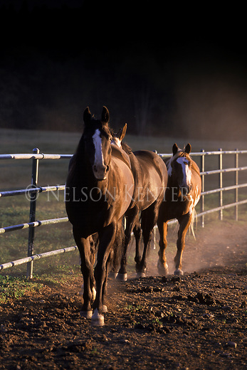 Horses in a corral at sunset on a Montana ranch