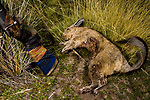Southern Viscacha (Lagidium viscacia) killed by hunter,  the viscacha is the principal prey of the Andean Cat, Ciudad de Piedra, Andes, western Bolivia