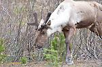Mountain caribou, Cariboo B.C.,