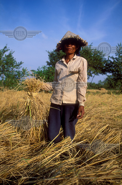 Peasant woman harvesting rice.