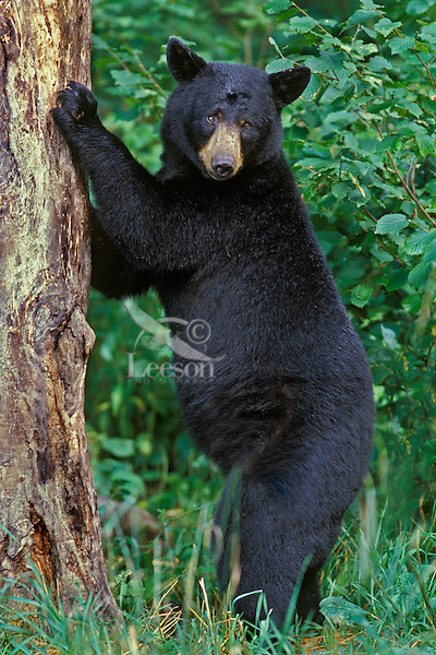 BLACK BEAR (Ursus americanus) standing against tree.  North Central U.S., summer.