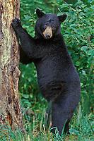 BLACK BEAR (Ursus americanus) standing against tree.  North Central U.S., summer.