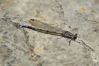 338670009 a wild male tonto dancer damselfly argia tonto perches on a rock near a creek in garden canyon fort huachuca cochise county arizona united states