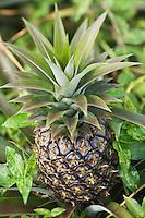 France/DOM/Martinique/ Macouba: Culture d'Ananas  à l'Habitation Crassous de Médeuil à Fonds-Préville