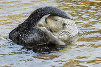 Sea Otter (Enhydra lutris) accessing oil gland at base of tail for grooming.