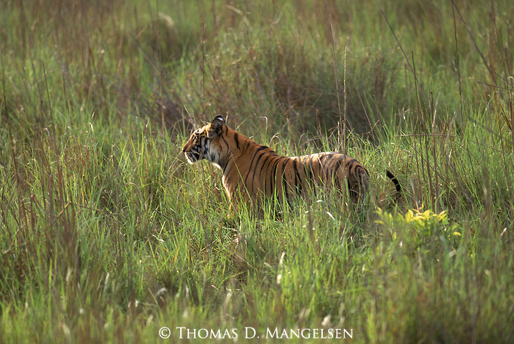 A bengal tiger stalks its prey through the tall grass in Bandhavgarh National Park, Madhya Pradesh, India.