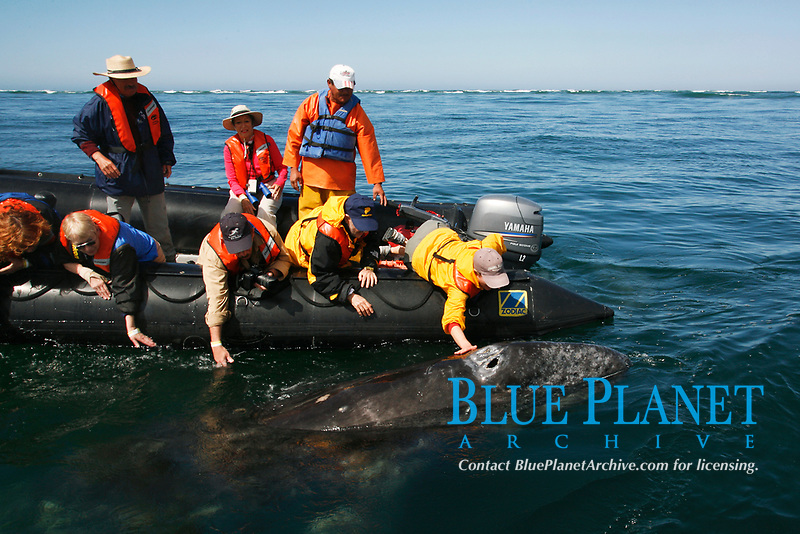 California gray whale, Eschrichtius robustus, calf being touched by excited whale watchers in the calm waters of San Ignacio Lagoon, Baja California Sur, Mexico, Pacific Ocean