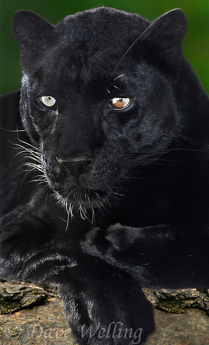 654309022 portrait of an adult male black or melanistic phase african leopard panthera pardus - animal is a wildlife rescue - species is native to sub-saharan africa