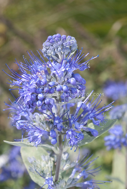Caryopteris Sterling Silver in blue flowers