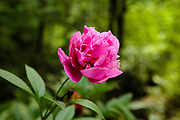Peony ( Paeonia Suffruticosa ) Flower during the summer months in a New England garden