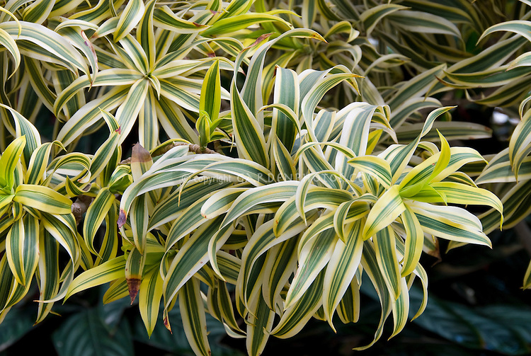 Dracaena reflexa 'Song of India' aka Pleomele, variegated palm-like plant, tropical tree Madagascar native, Malaysian Dracaena, Small-leaved Dragon Tree, houseplant