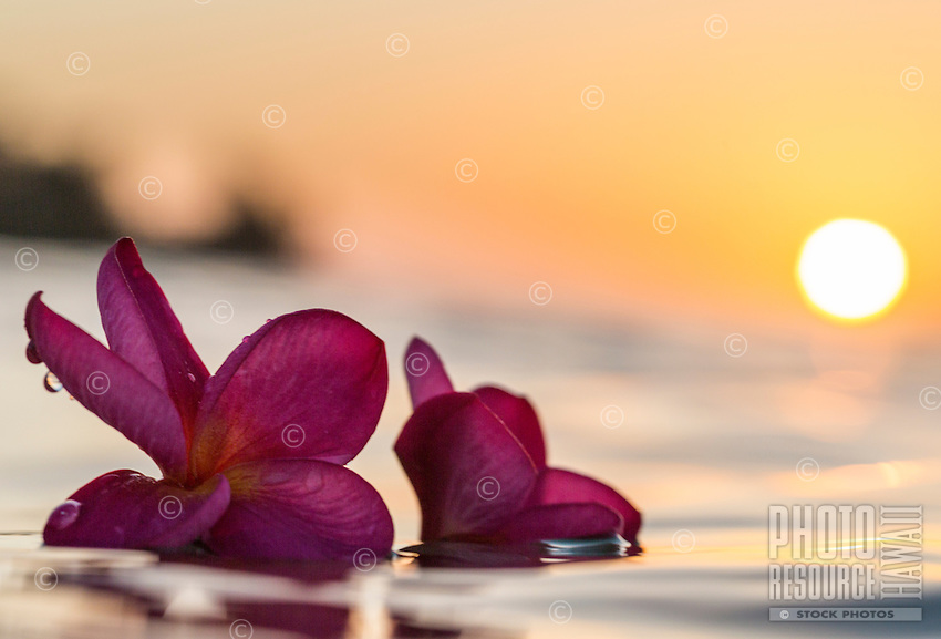 Two pink plumerias float in the ocean at sunset, Hawai'i.
