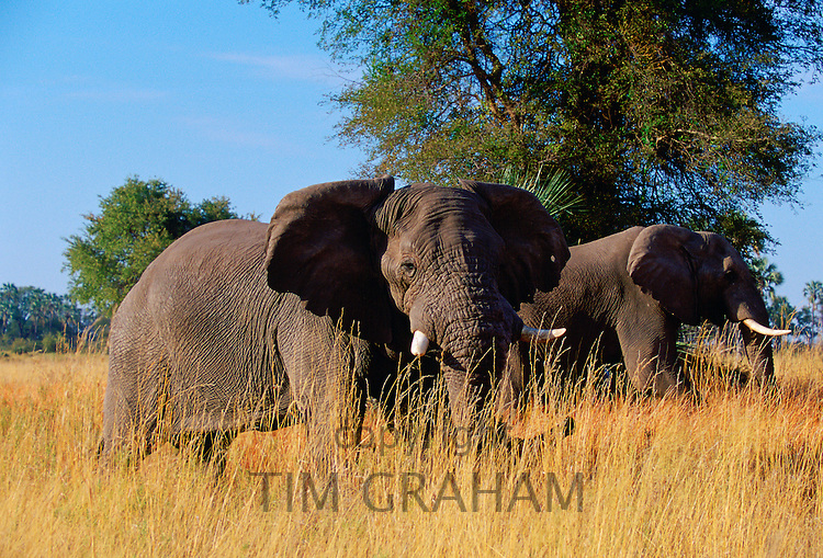 Elephants in  Moremi National Park, Botswana