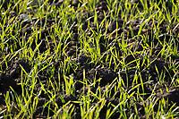 Spring Barley plants<br /> &copy;Tim Scrivener Photographer 07850 303986<br />      ....Covering Agriculture In The UK....