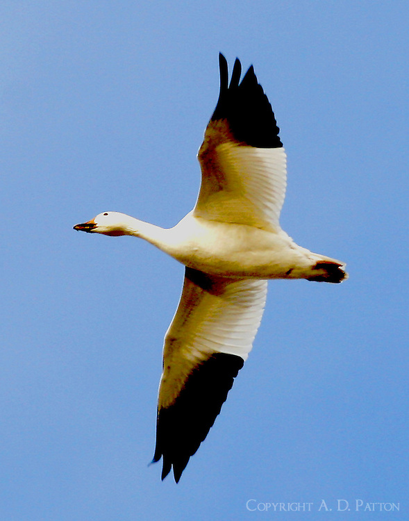 Flying adult white lesser snow goose
