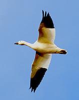 Flying adult white lesser snow goose