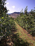 Ripening apples in orchard in Okanagan Valley, British Columbia, Canada