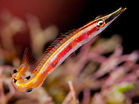 Arrow blenny, Roatan