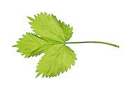 Hopfen, Gewöhnlicher Hopfen, Humulus lupulus, Common Hop, Houblon. Blatt, Blätter, leaf, leaves