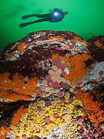 TA0479-D. Sponges, red algae, and Painted Sea Anemones (Urticina crassicornis) carpet the rock wall in a current-swept pass. Scuba diver (model released) swims overtop. British Columbia, Canada, Pacific Ocean.<br /> Photo Copyright &copy; Brandon Cole. All rights reserved worldwide.  www.brandoncole.com