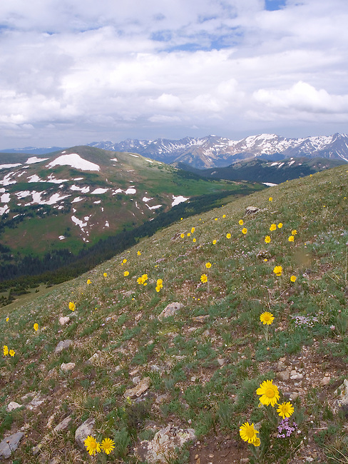 Alpine Sunflowers bloom in Rocky Mountain National Park's short summer season in the high altitude tundra, Colorado