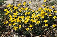 Graues Sonnenröschen, Helianthemum canum, Rock Rose, Hoary rockrose, Hoary Rock-Rose