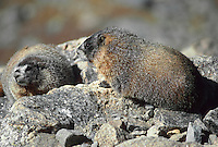 35-M02A-MY-20    YELLOW-BELLIED MARMOT (Marmota flaviventris) pair on rocks, Rocky Mountain National Park, Colorado, USA.