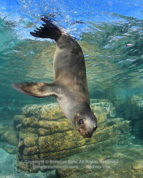 QT1416-D. California Sea Lion (Zalophus californianus), playful juvenile. Baja, Mexico, Sea of Cortez, Pacific Ocean.<br /> Photo Copyright &copy; Brandon Cole. All rights reserved worldwide.  www.brandoncole.com