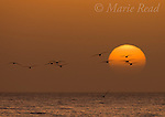 Black Skimmers (Rynchops niger) at sunset, Fort De Soto Park, Florida, USA