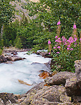 Raging water of East Rosebud Creek and blooming fireweed in Montana
