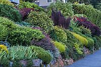 Colorful foliage textured hillside shrub border with Barberry, Heathers, Cinqefoil, Sunrose, Nandina, Yew, etc - Seattle Washington, Stacie Crooks design
