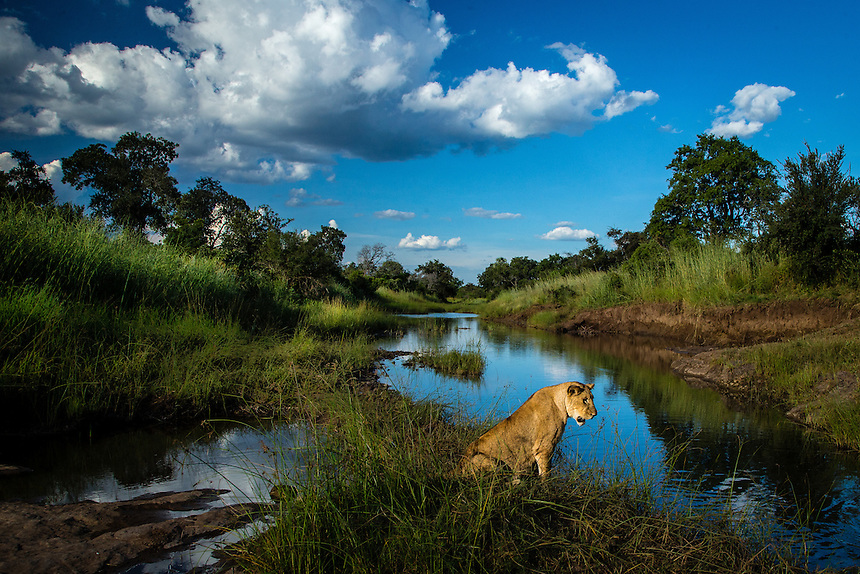 A lioness pauses for a moment's reflection alongside a waterhole.