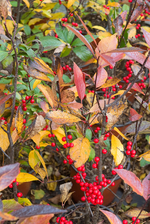 Ilex verticillata 'Winter Red' fall foliage and berries holly