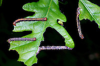 Großer Frostspanner, Raupe, Erannis defoliaria, Phalaena defoliaria, Hybernia defoliaria, Mottled Umber, Forstschädling, Spanner, Spannerraupe, Geometridae, looper, loopers, geometer moths, geometer moth