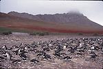 gentoo penguin colony on Steeple Jason Island